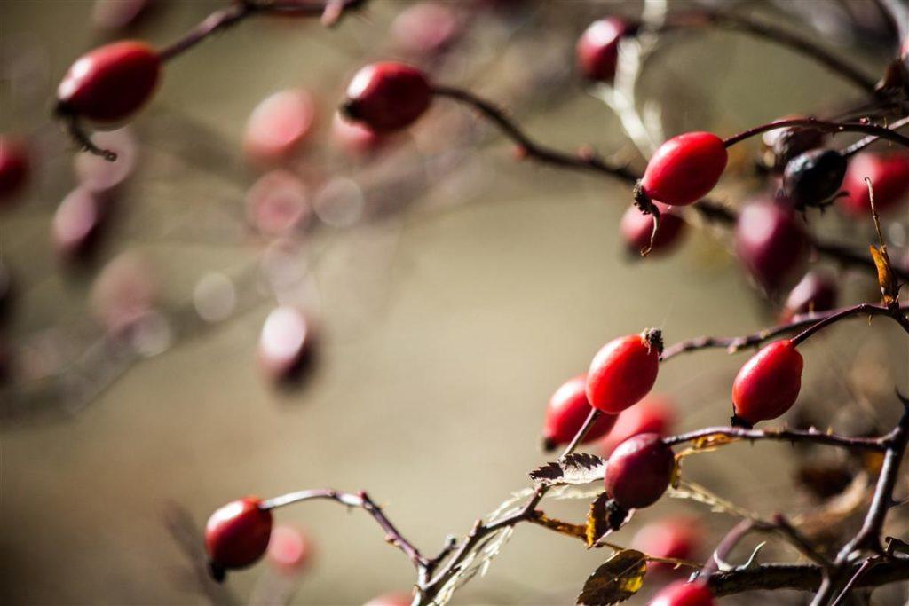 rosehip in autumn - ©Talespoon